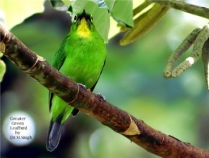 !!!!!!!!!!!!!!!!!!!!!!!!!!!!!!!!!!!!!!!!!!!!!!!!!!!!!!!!!!!!!!!!!!!!!!!!!!!!!!!!!!!!!!350px-Greater_Green_Leafbird-2