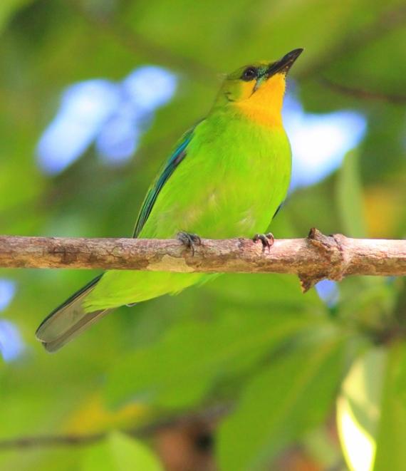 !!!!!!!!!!!!!!!!!!!!!!!!!!!!!!!!!!!!!!!!!!!!!!!!!!!!!!!!!!!!!!!!!!!!!!!!!!!!!!!!!!!!!!!!!Lemon-throated-leaf-birdtrek