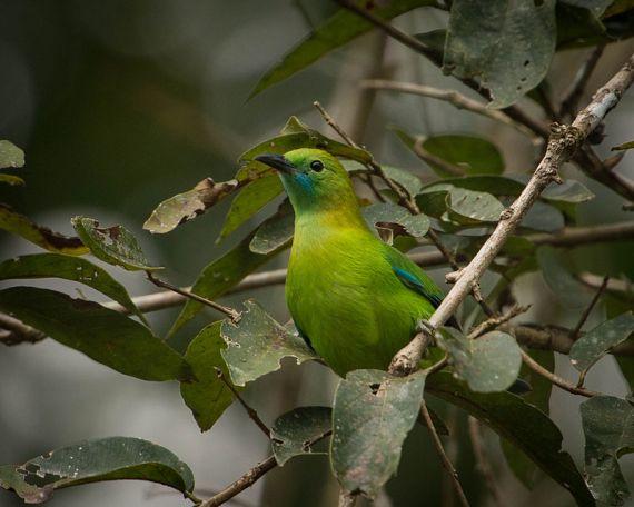 !!!!!!!!!!!!!!!!!!!!!!!!!!!!!!!!!!!!!!!!!!!!!!!!!!!!!!!!!!!!!!!!!!!!!!!!!!!!!!!!!!!!!!!!!!!!!!!!!!!!!!!!!!!!!!Lesser_Green_Leafbird_(Female)