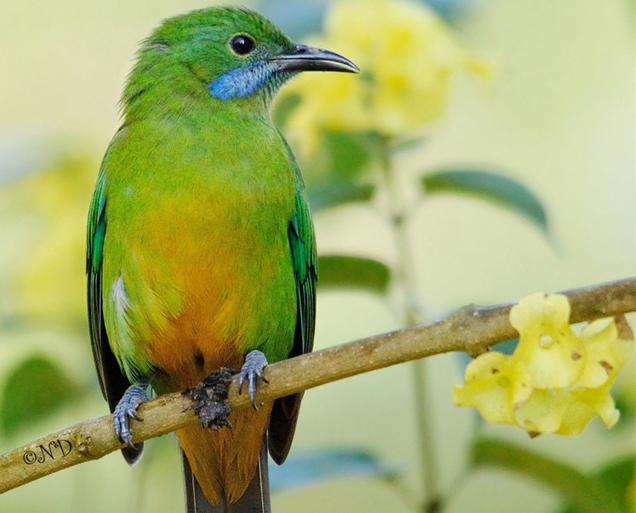"Leafbirds are also ""rainbow"" birds | Julian O'Dea"